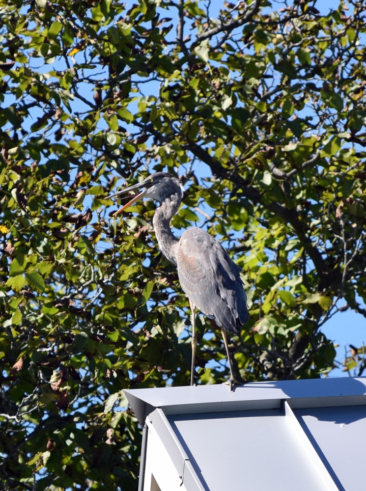 Blue-Heron-looking-left